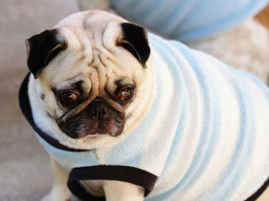 Doenças de cachorro: Pug acima do seu peso ideal