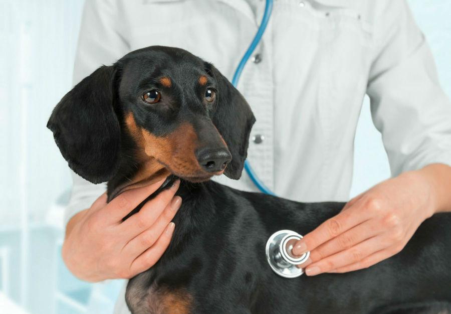Doenças de cachorro: Daschund sendo examinado pelo veterinário