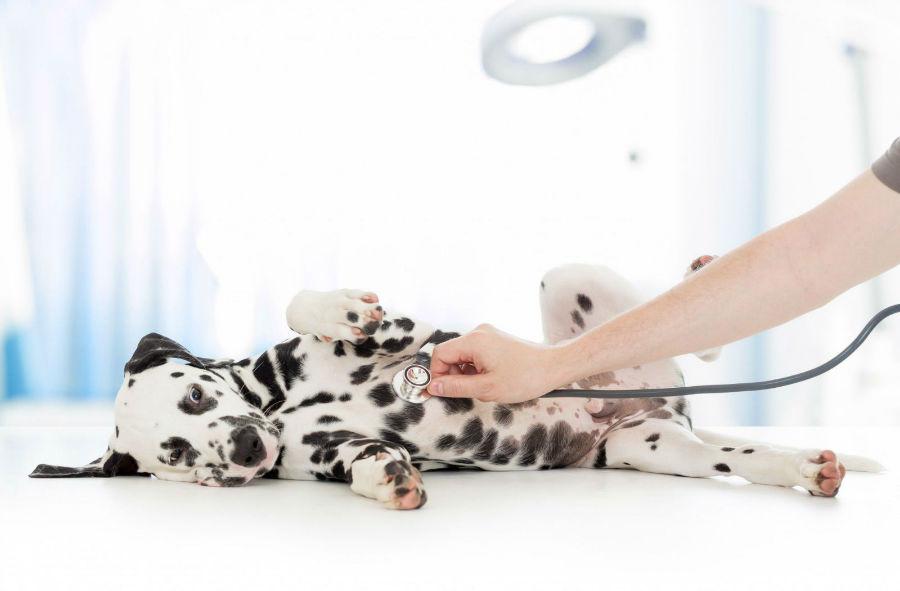Doenças de cachorro: Dálmata sendo examinado pelo veterinário