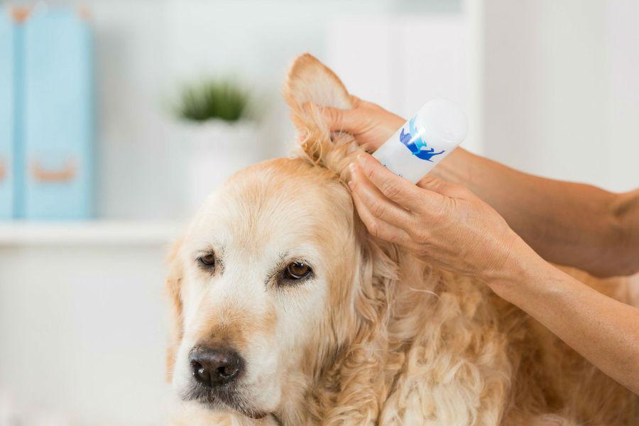 Doenças de cachorro: Golden retriever fazendo lavagem e colocando remédio para curar otite nos ouvidos