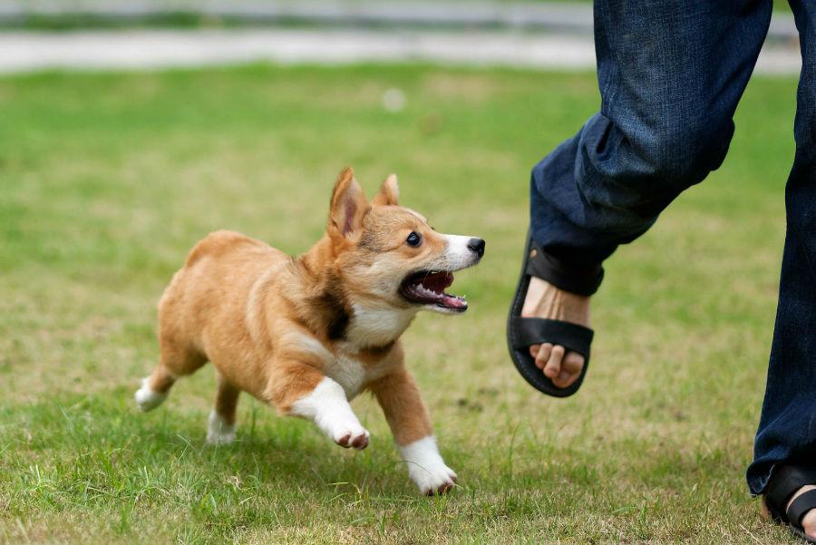 problema-comportamento-cachorro-perseguir