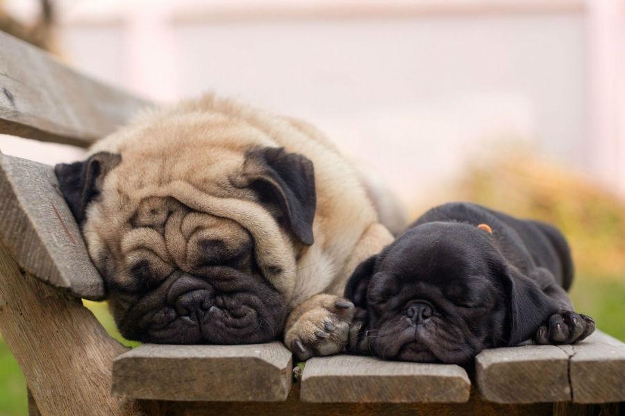 cachorro-pug-cuidados