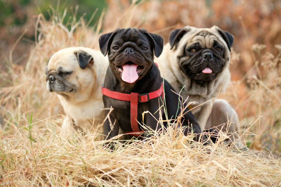 cachorro-pug-introducao