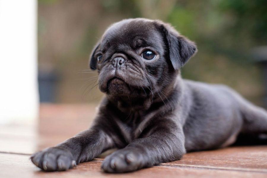 cachorro-pug-saude