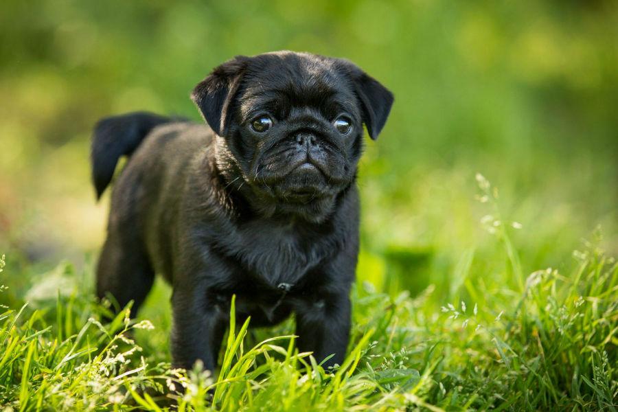 cachorro-pug-treinamento