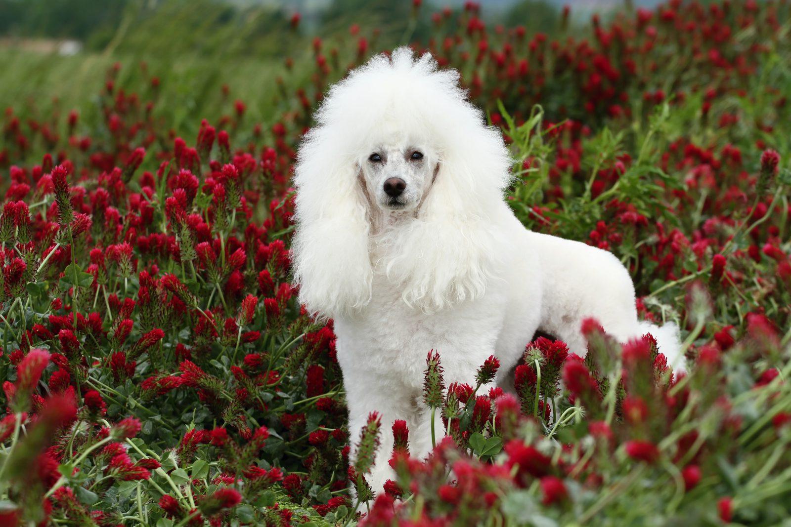 quanto-custa-cachorro-poodle