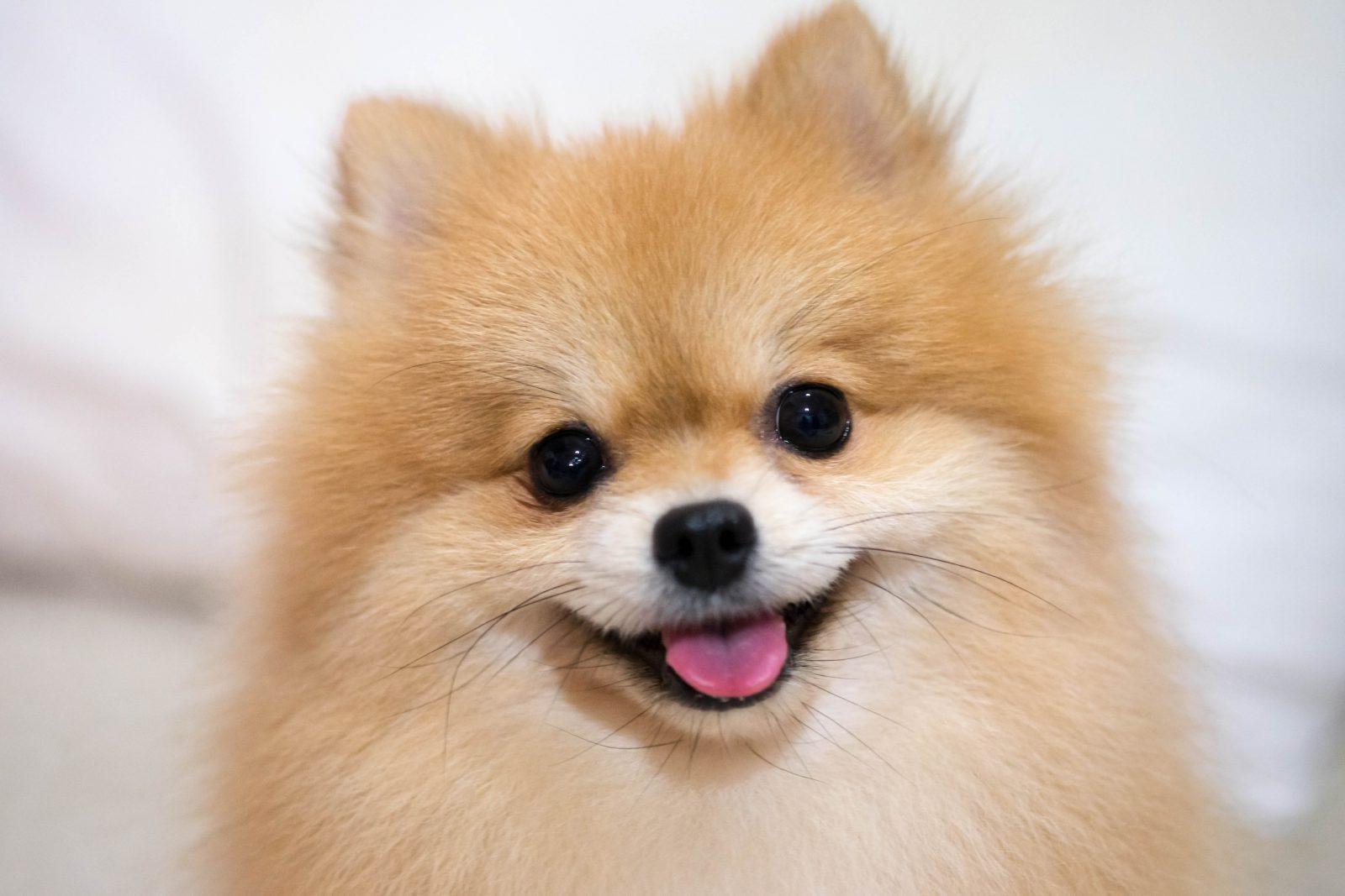 20 Raças de cachorros mais barulhentas
