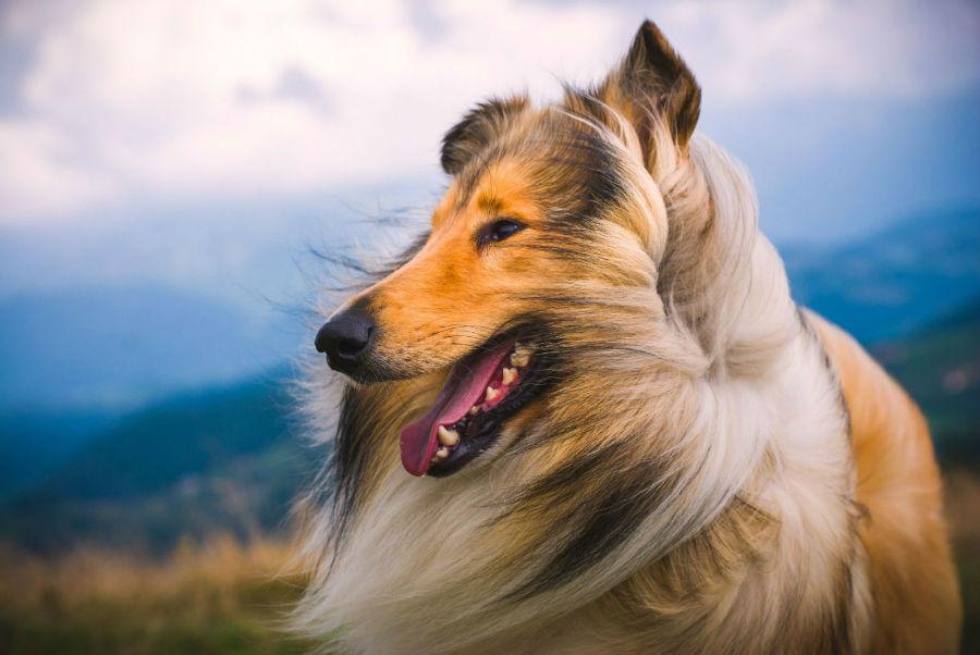 Cachorro abandonado: Collie de perfil com sua pelagem exuberante ao vento.-collie
