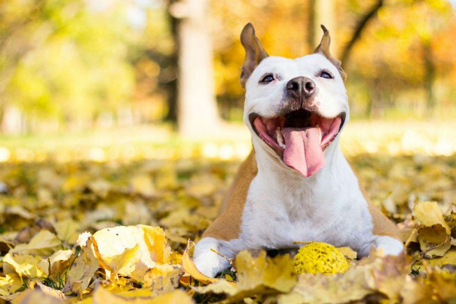 Cachorro abandonado: Pitbull Terrier sorridente deitado no parque curtindo um lindo dia de sol