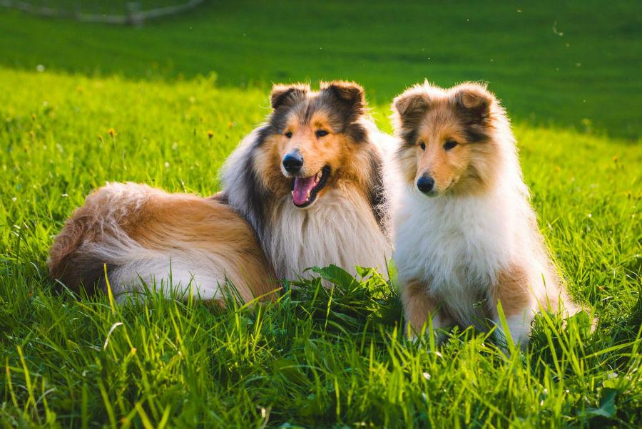Cachorro abandonado: Collie e seu filhote deitados na grama em campo aberto