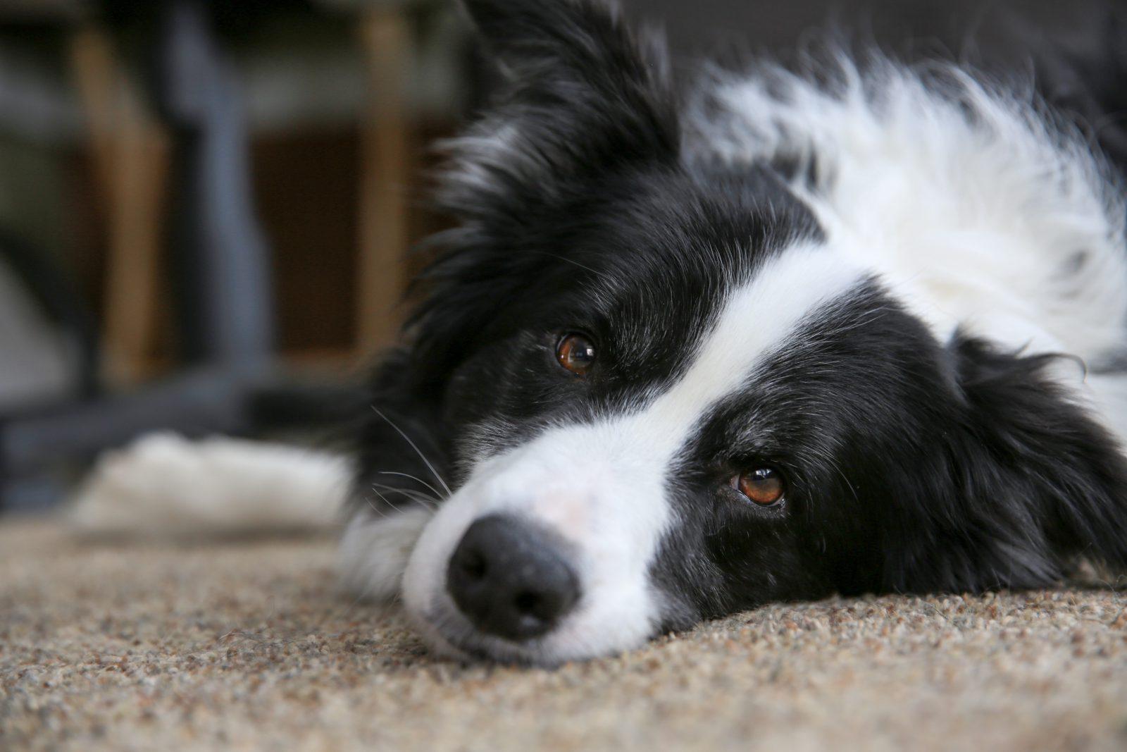7 Melhores raças de cachorro para caminhadas