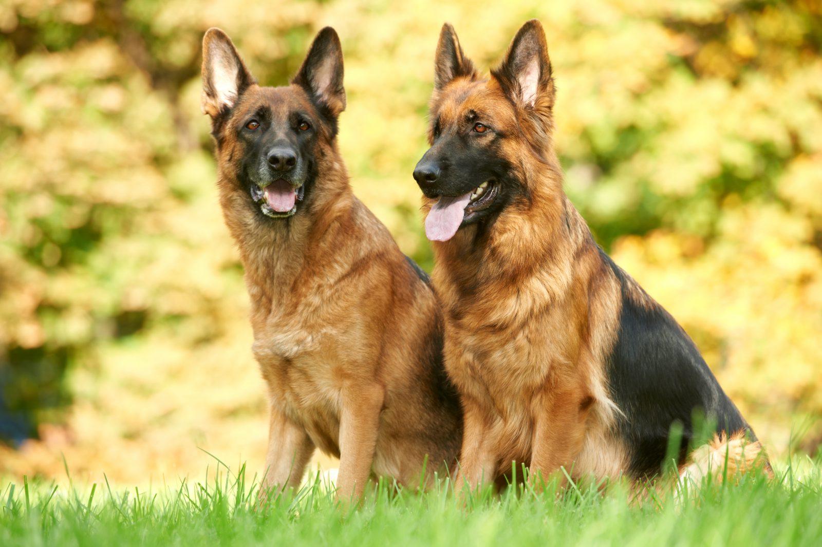 8 Raças de Cachorros mais fiéis
