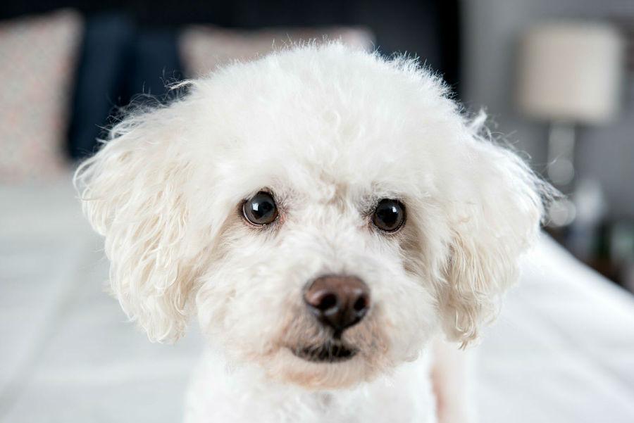 Raças de cachorro hipoalergênicas: Pequeno Bichon Frisé