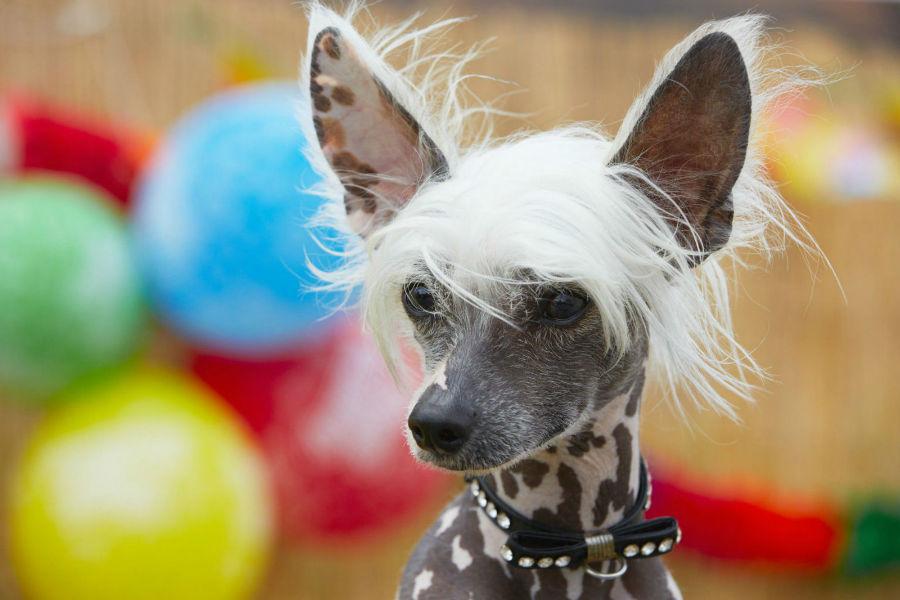 Raças de cachorro hipoalergênicas: Chinese Crested pintado e sua cabeleira exótica