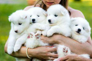 Raças de cachorro hipoalergênicas: filhotes de samoieda no colo de menina