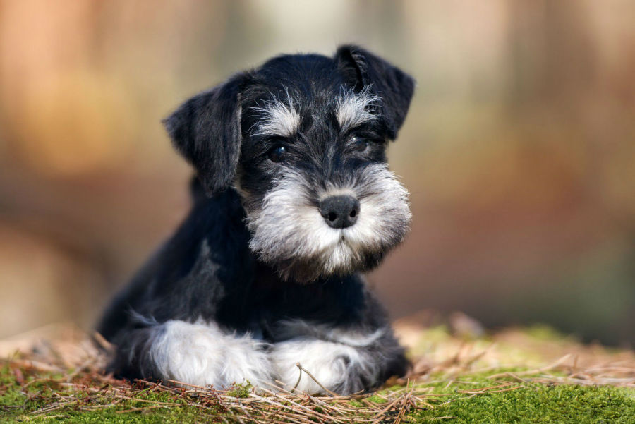 Raças de cachorro hipoalergênicas: Schnauzer miniatura deitado na grama do jardim