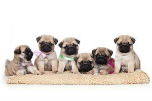 Qual cachorro vive mais: Filhotes de Pugs todos na mesma cor bege com gravats e laços de fitas coloridos no pescoço.