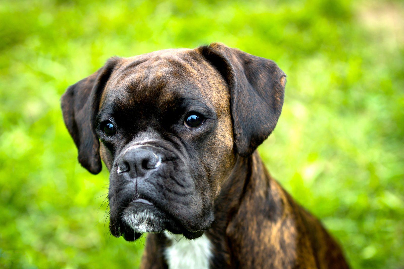 racas-popular-cachorro-arruinadas-boxer