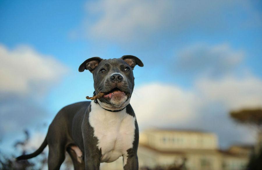 racas-populares-pitbull-americano-terrier