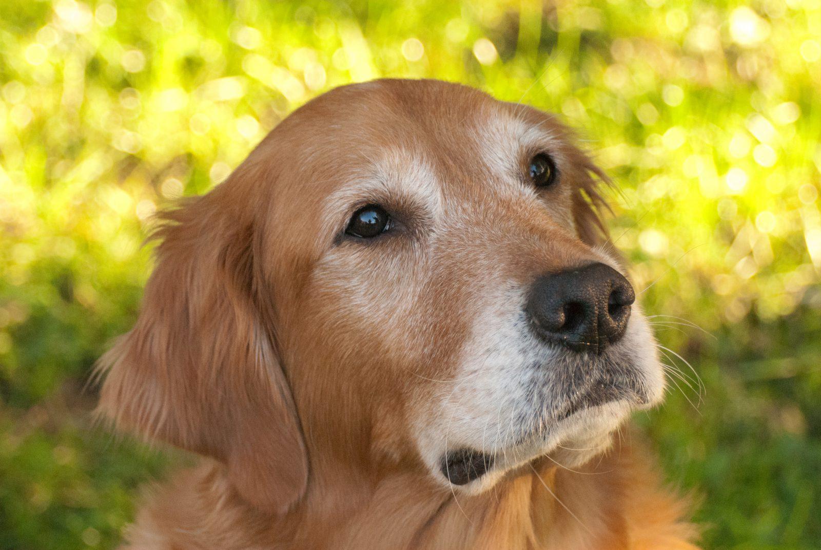 razoes-adotar-cachorro-mais-velho-menos-exigente