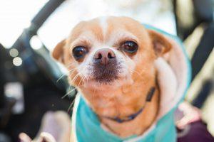 Roupa para cachorro: Chihuahua de jaqueta com capuz saindo para passear no carro.