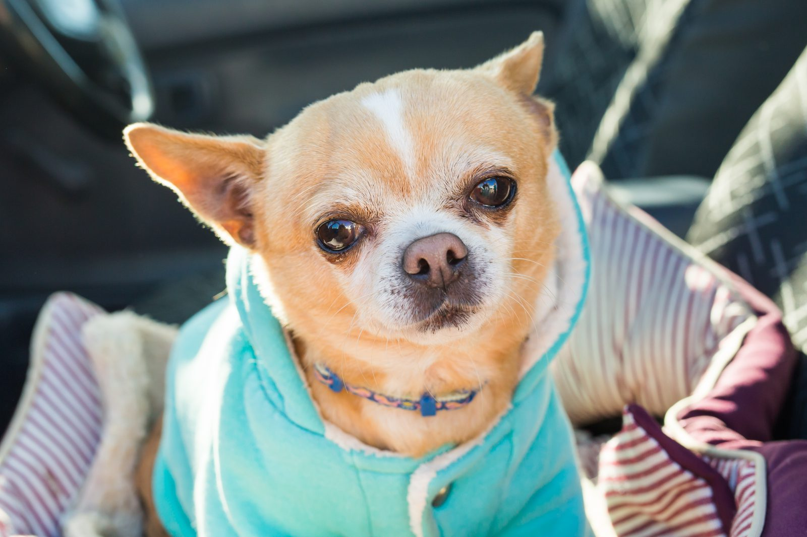 Roupa para cachorro: Chihuahua de sweater esportivo com capuz