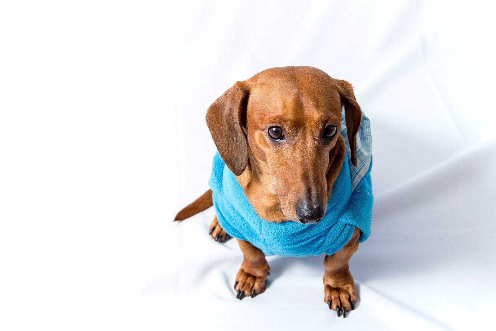 Roupa para cachorro: Dachshund vestindo uma peça de roupa de cachorro quentinha