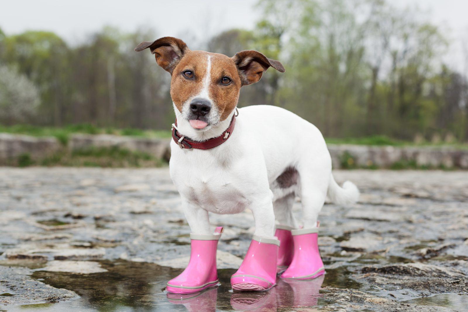 Roupa de cachorro: Cachorro vestinho botinhas para proteger as patas do gelo molhado e da neve.