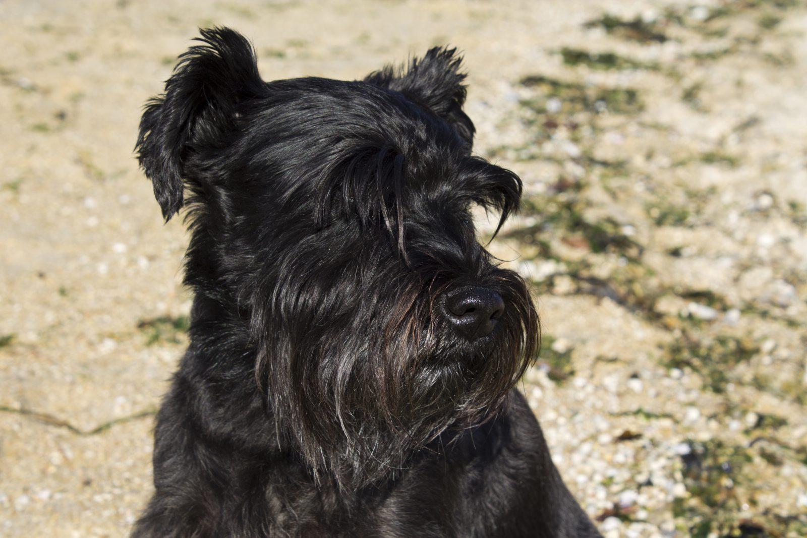 Raça de cachorro pequeno para idosos: Schnauzer preto adulto sempre pronto para defender seu dono e seu território.