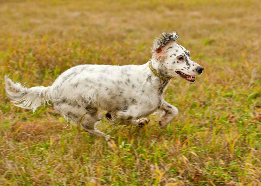 cachorro-setter-ingles-atividade