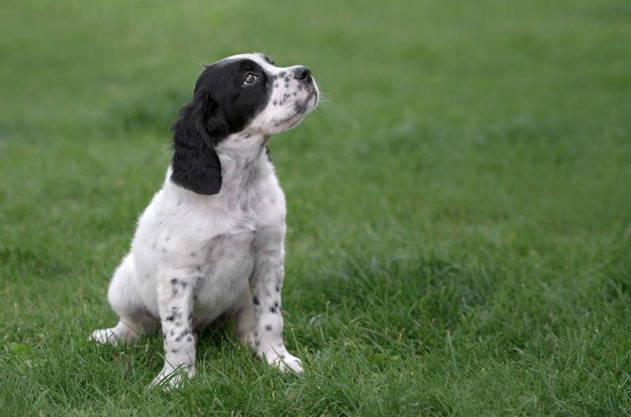 cachorro-setter-ingles-saude