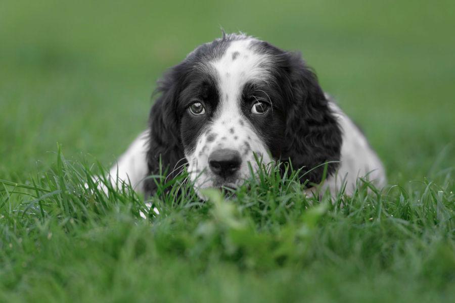 cachorro-setter-ingles-temperamento