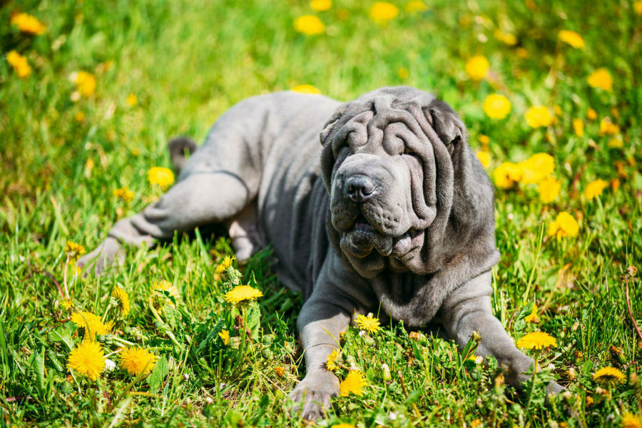 cachorro-sharpei-ambiente-ideal