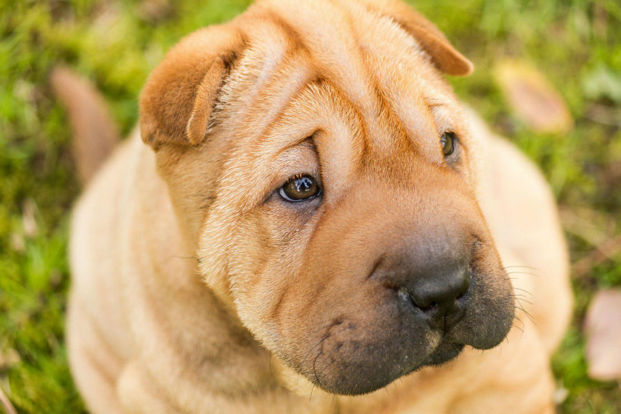 cachorro-sharpei-aparencia