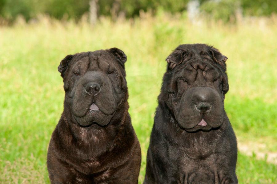 cachorro-sharpei-origem