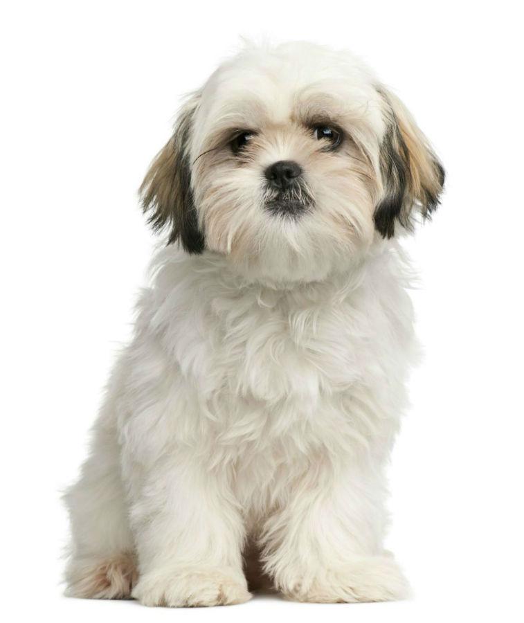 cachorro-shitzu-cuidados