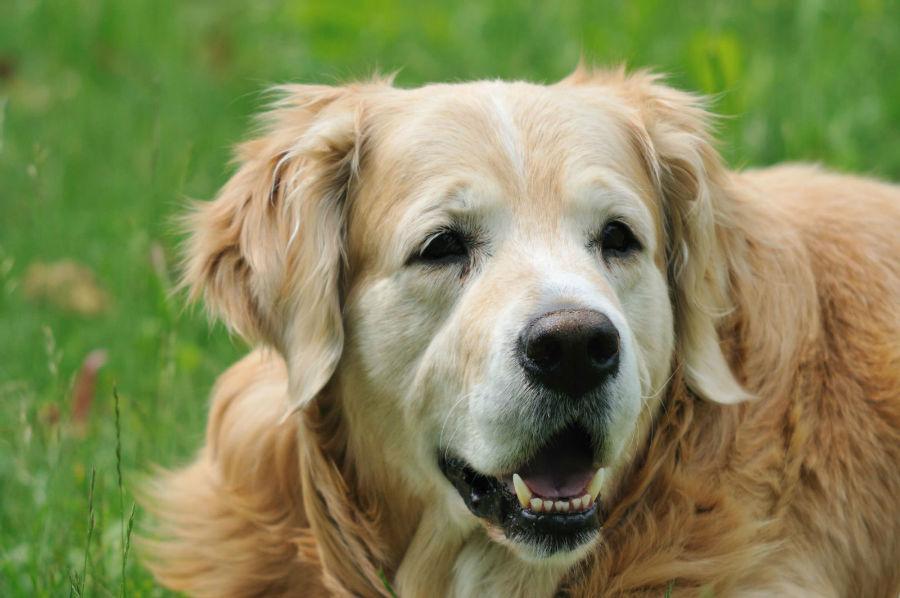 Cachorro idoso: Golden Retriever já idoso com sua face toda branca
