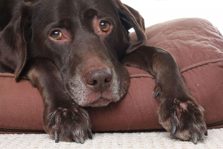Cachorro idoso: Labrador Retriever chocolate e seu focinho esbranquiçado e patas já faltando pêlos