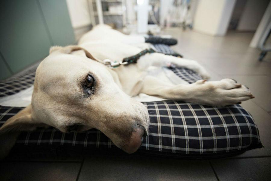 Cachorro idoso: Labrador idoso internado em clínica veterinária a espera de exames