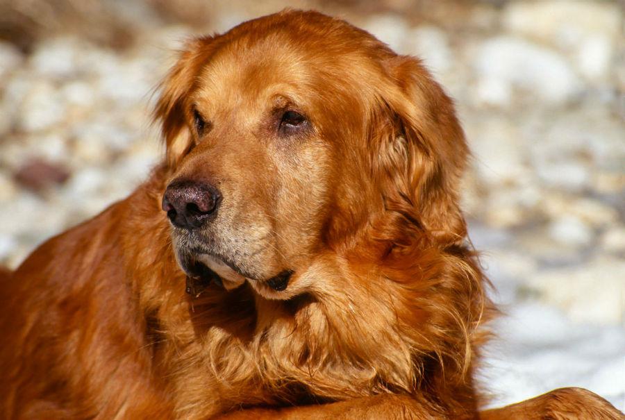 Cachorro idoso: Golden Retriever mais velho.