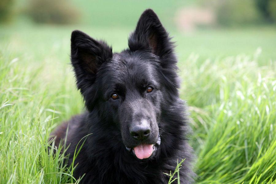sonhar-cachorro-cao-preto