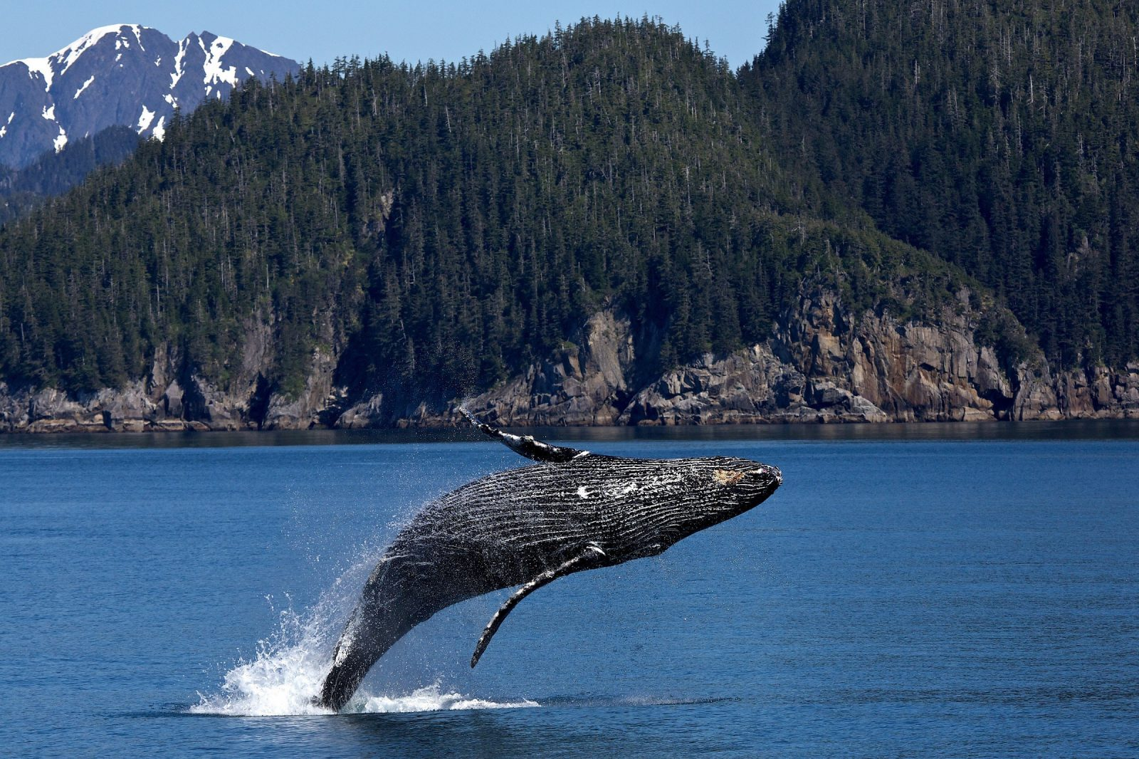 Sonhar com baleia saltando é sinal de alívio.