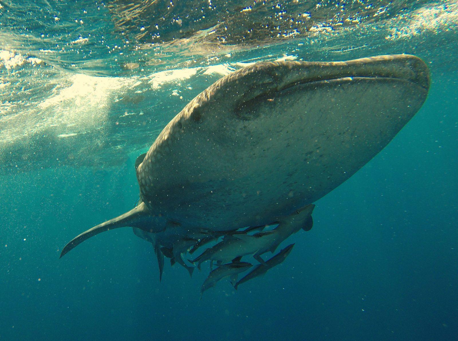 Sonhar com baleia nadando no oceano é sinal de progresso.
