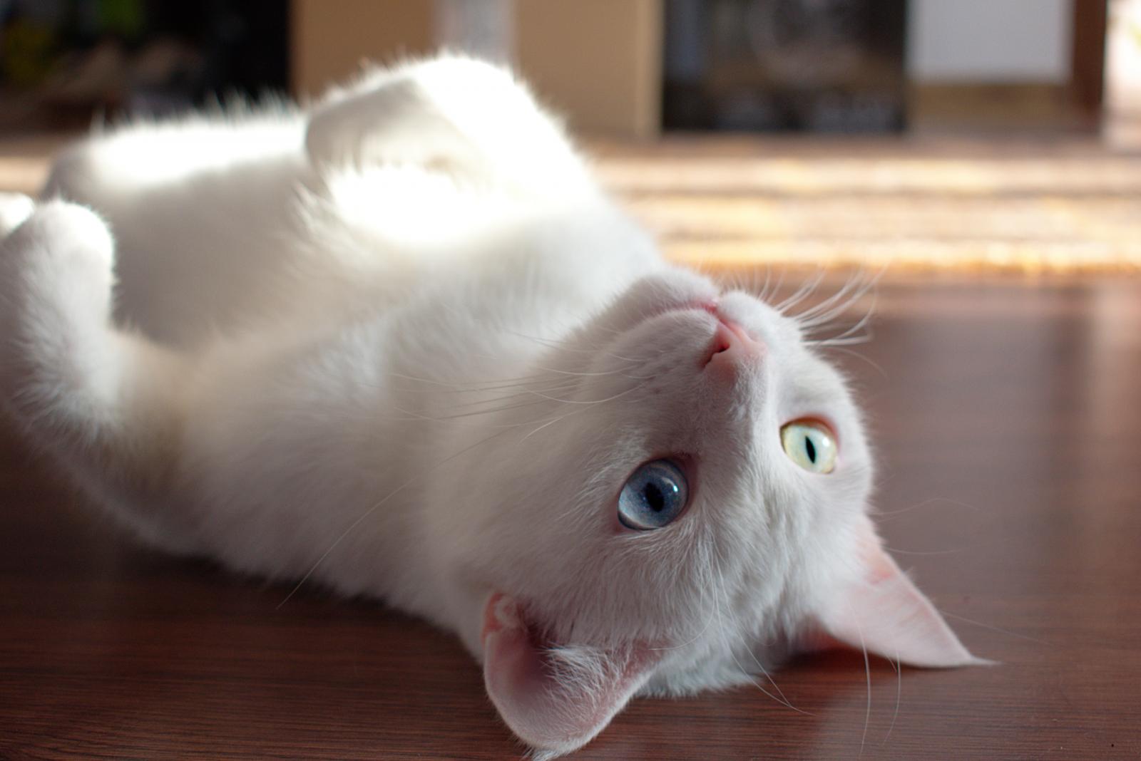 Sonhar com gato branco indica boas notícias em breve.