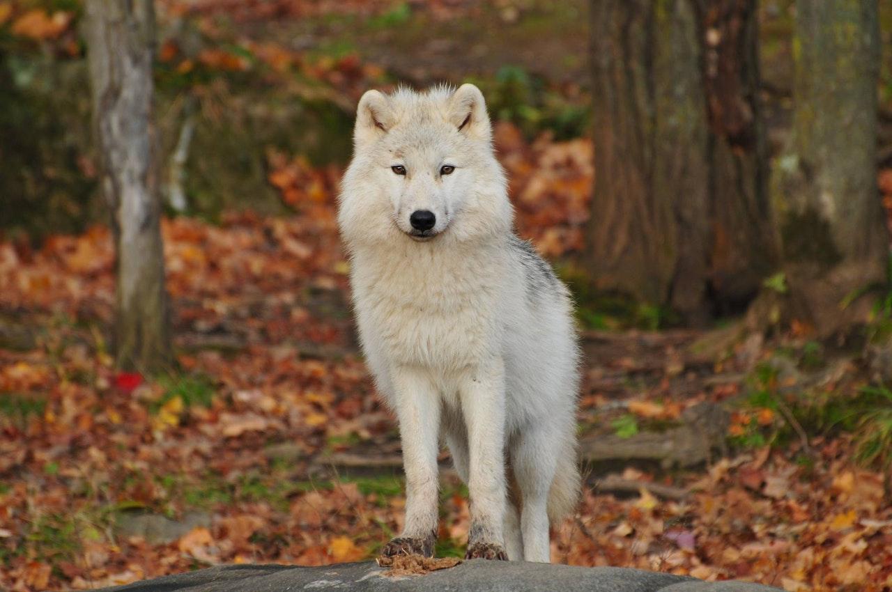 Sonhar com lobo te atacando é sinal de dificuldades pela frente.