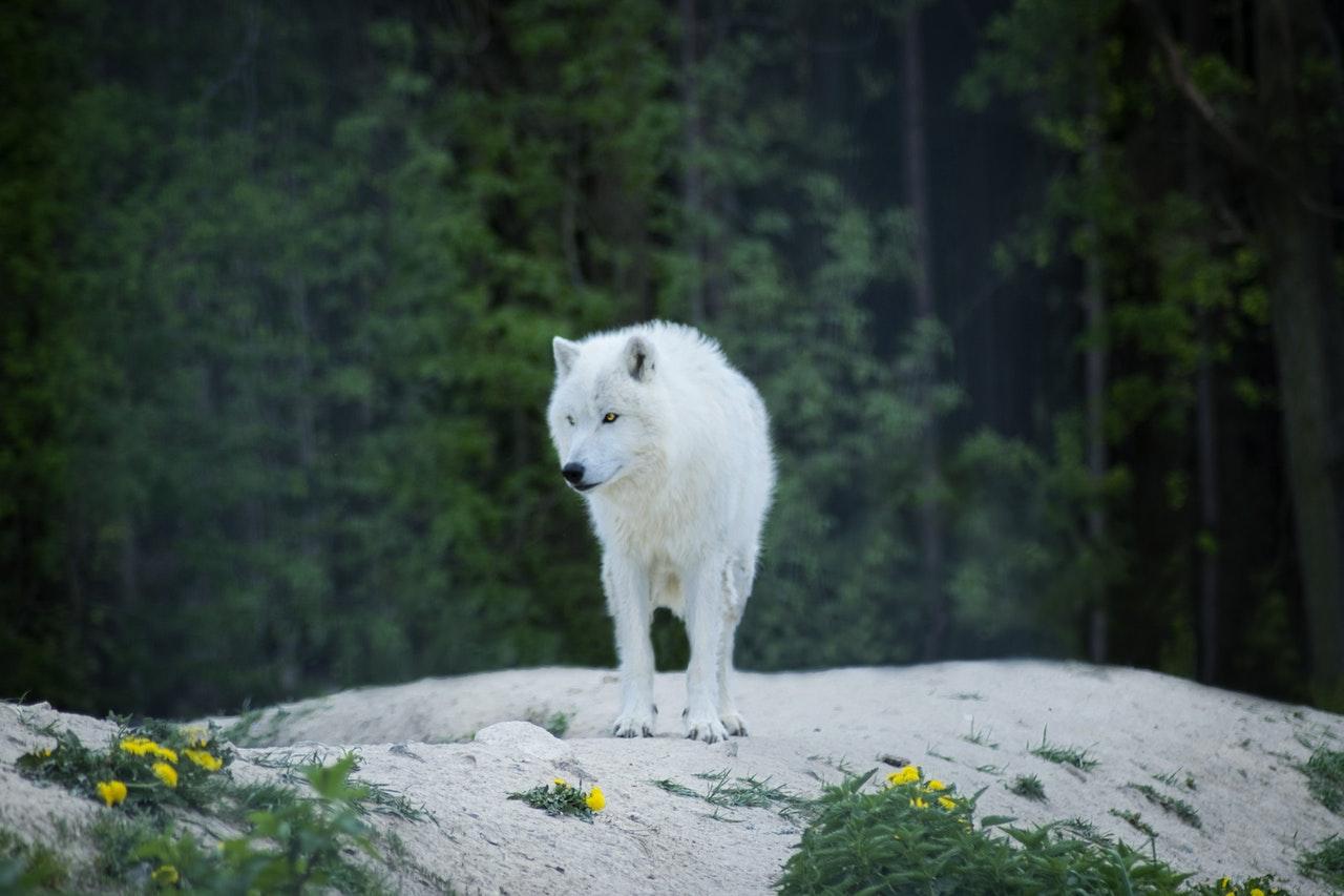 Sonhar com lobo uivando pode ser sinal de medo de enfrentar seus objetivos.