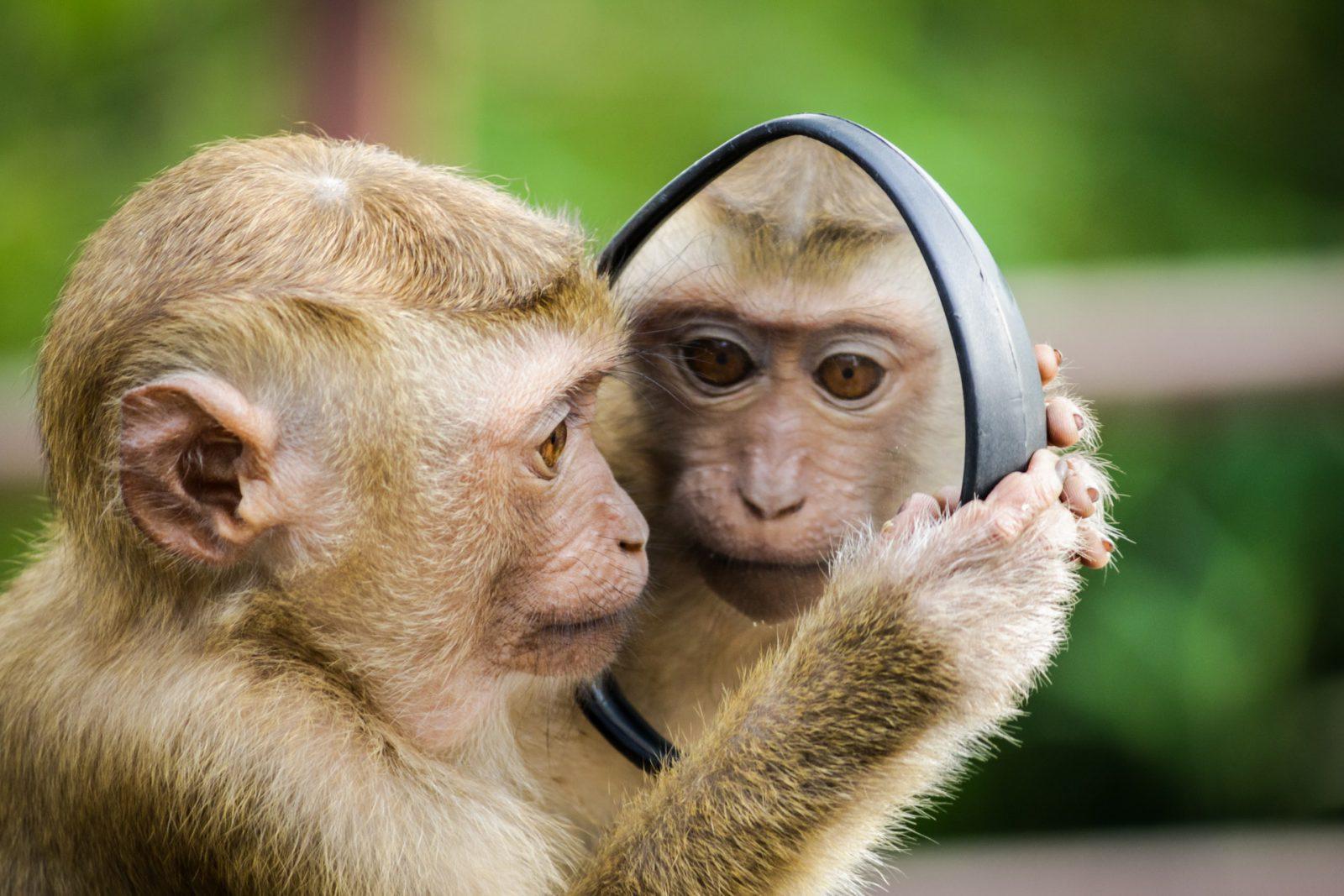 Sonhar com macaco de estimação é sinal de sobrecarregações.