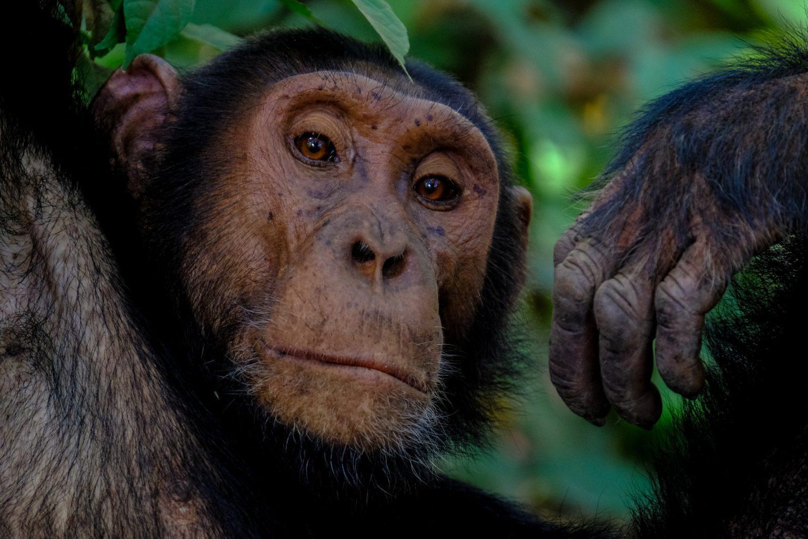 Sonhar com macaco simboliza imaturidade de caráter.
