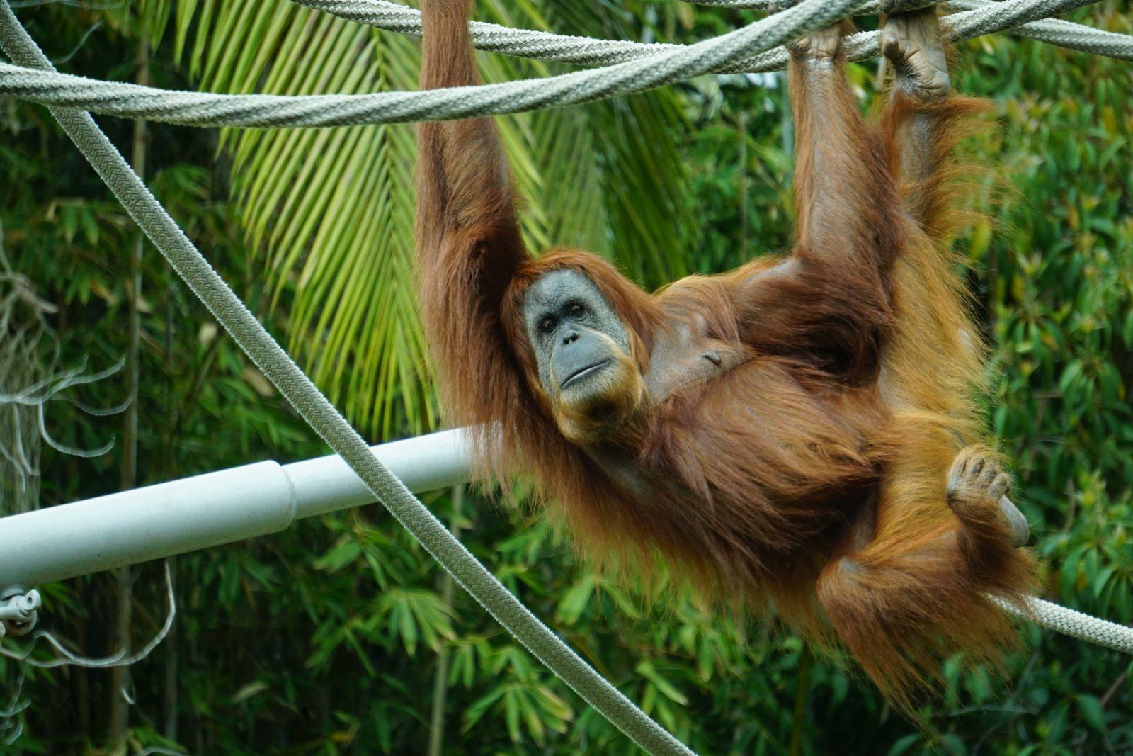 Sonhar com macaco grande é sinal de boa notícia.