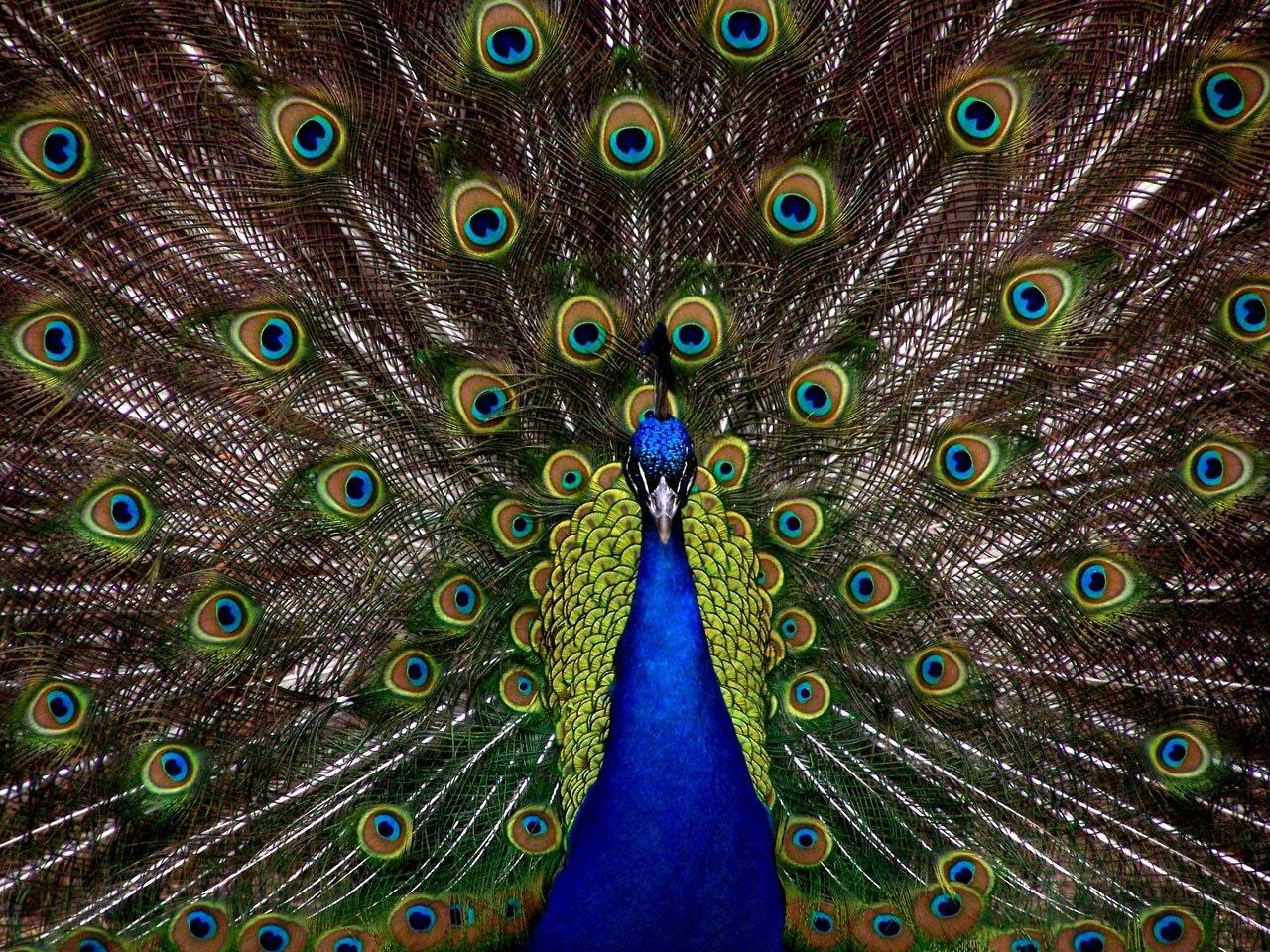 Sonhar com pavão em grande quantidade significa orgulho, vaidade.
